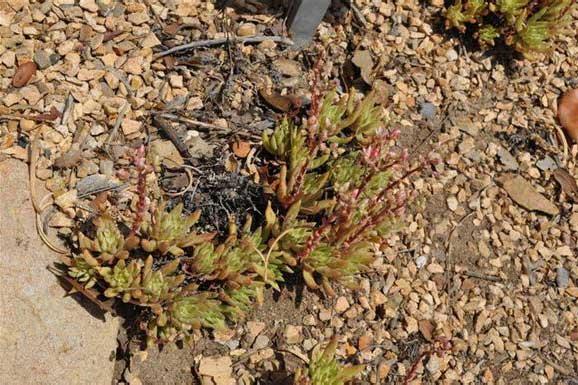 仙女杯属多肉植物:阿诺玛拉 Dudleya anomala