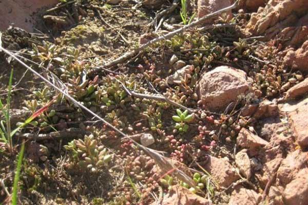 仙女杯属多肉植物:布洛奇马尼埃 Dudleya blochmaniae