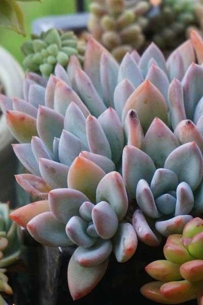 多肉植物霜之朝的形态特征与养护建议