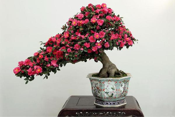 山茶花盆景的生长习性与蟠扎造型