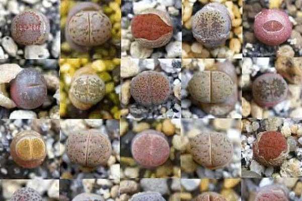 生石花的形态特征、生长特点与主要特色