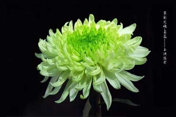 中华传统十大名菊