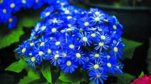长春:多彩菊科植物 让春天常伴左右