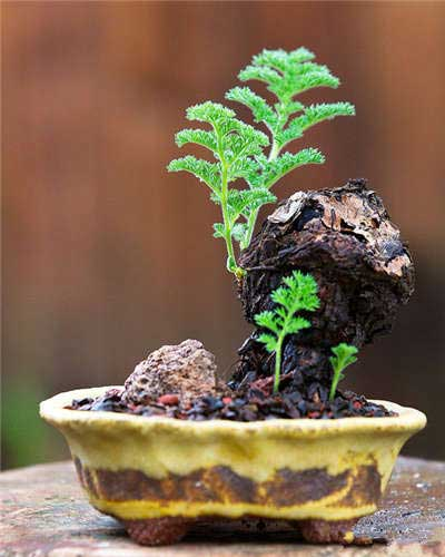 盆景顶尖玩家 多肉植物老桩和盆器的绝妙组合