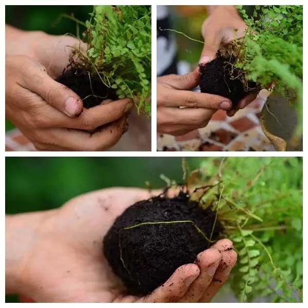 苔玉盆景:手把手教你捏出一只水苔球