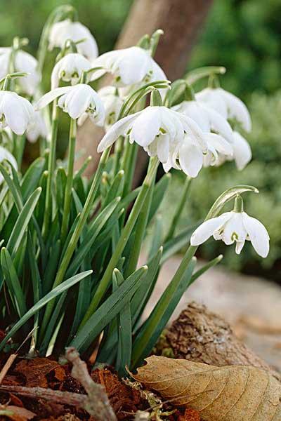 雪莲花的植物小档案及种植须知