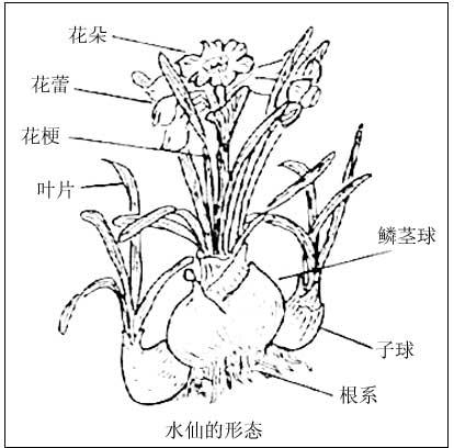 水仙的雕刻方法