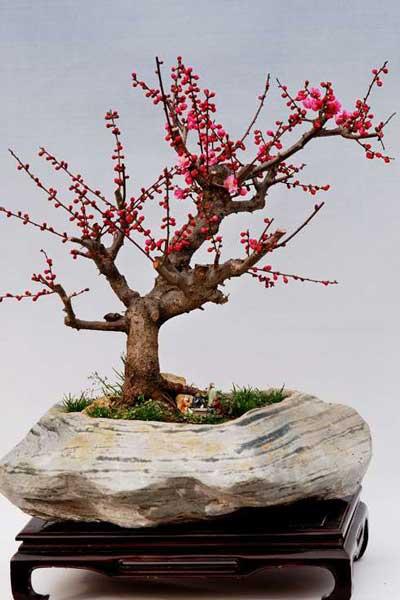 六个技巧打造梅花树桩盆景的古朴沧桑美
