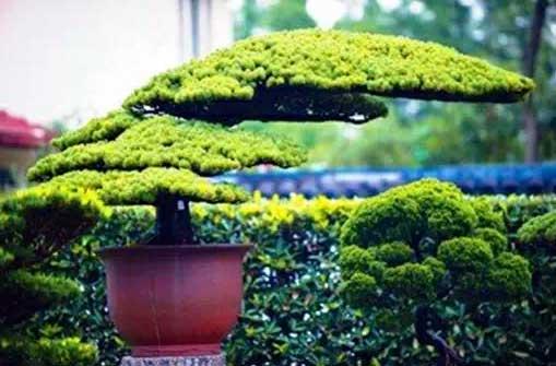 细数中国树木盆景艺术的五大流派