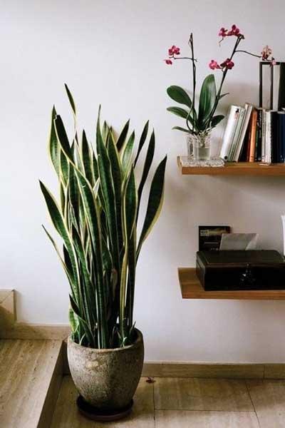如何用一盆虎皮兰装饰出有格调的家