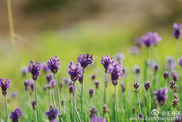 薰衣草的二三事(品种、播种、日常养护)