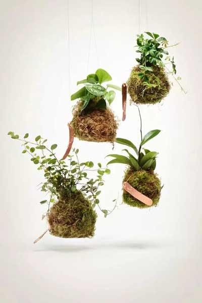 绿植新玩法 苔玉球上的小花园