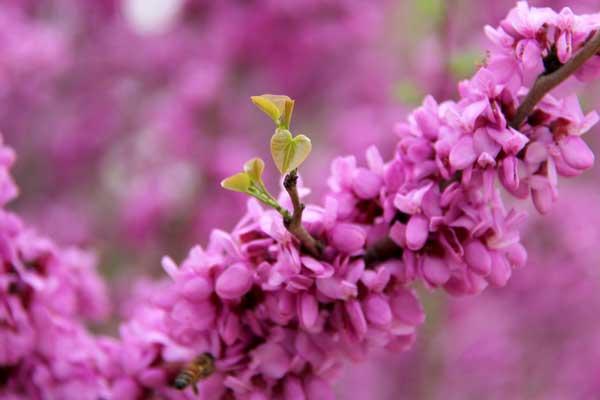 紫荆,但不是那个香港的紫荆花啊