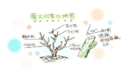【月季控】超实用的月季全年养护指南