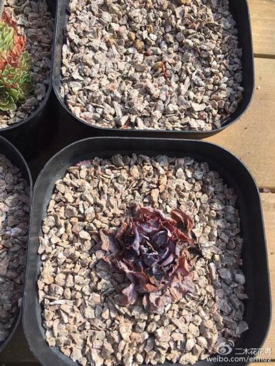 二木:多肉植物晒伤后的处理方法